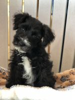 Miniature Schnauzer Puppies for sale in Waterloo, IN 46793, USA. price: NA