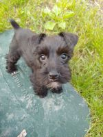 Miniature Schnauzer Puppies for sale in Berea, OH 44017, USA. price: NA