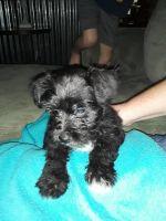 Miniature Schnauzer Puppies for sale in Eupora, MS 39744, USA. price: NA