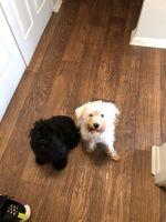 Miniature Schnauzer Puppies for sale in Marietta, GA, USA. price: NA