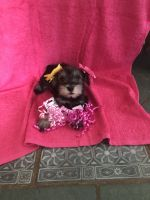 Miniature Schnauzer Puppies for sale in Hillsdale, MI, USA. price: NA