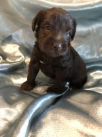 Miniature Schnauzer Puppies for sale in Cabot, AR, USA. price: NA