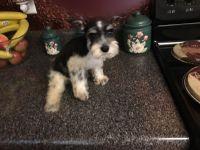 Miniature Schnauzer Puppies for sale in Blountsville, AL 35031, USA. price: NA