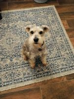 Miniature Schnauzer Puppies for sale in Oklahoma City, OK, USA. price: NA