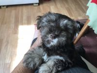 Miniature Schnauzer Puppies for sale in Columbia, TN 38401, USA. price: NA