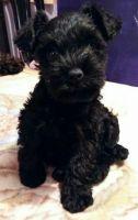 Miniature Schnauzer Puppies for sale in Hesperia, CA, USA. price: NA