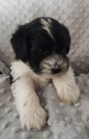 Miniature Schnauzer Puppies for sale in Sioux Falls, SD, USA. price: NA