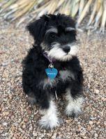 Miniature Schnauzer Puppies for sale in Queen Creek, AZ, USA. price: NA