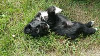 Miniature Schnauzer Puppies for sale in 40925 Waxwing Dr, Leesburg, VA 20175, USA. price: NA
