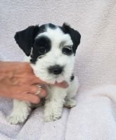 Miniature Schnauzer Puppies for sale in OH-51, Ohio, USA. price: NA
