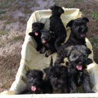 Miniature Schnauzer Puppies for sale in Dade City, FL, USA. price: NA