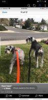 Miniature Schnauzer Puppies for sale in Moreno Valley, CA, USA. price: NA