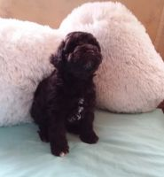 Miniature Schnauzer Puppies for sale in Lake Wylie, SC 29710, USA. price: NA