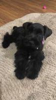 Miniature Schnauzer Puppies for sale in Auburndale, FL, USA. price: NA