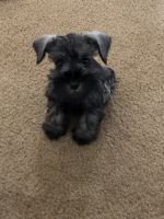 Miniature Schnauzer Puppies for sale in San Antonio, TX, USA. price: NA