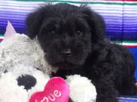 Miniature Schnauzer Puppies for sale in OH-16, Pataskala, OH, USA. price: NA