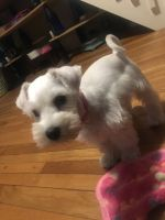 Miniature Schnauzer Puppies for sale in Woonsocket, RI 02895, USA. price: NA