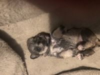 Miniature Schnauzer Puppies for sale in Frankfort, IN 46041, USA. price: NA