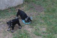 Miniature Schnauzer Puppies for sale in Logan, UT, USA. price: NA