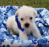 Miniature Schnauzer Puppies for sale in Muse, OK 74949, USA. price: NA