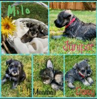 Miniature Schnauzer Puppies for sale in Salem, OR, USA. price: NA