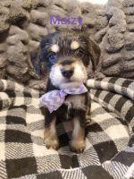 Miniature Schnauzer Puppies for sale in Spokane, WA, USA. price: NA