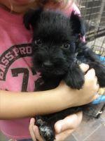 Miniature Schnauzer Puppies for sale in Harrah, OK, USA. price: NA