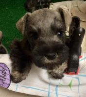 Miniature Schnauzer Puppies for sale in Cleburne, TX, USA. price: NA