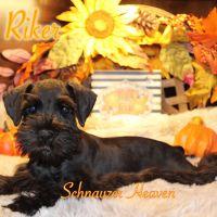 Miniature Schnauzer Puppies for sale in Piedmont, SC 29673, USA. price: NA