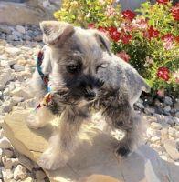 Miniature Schnauzer Puppies for sale in Huntington, UT 84528, USA. price: NA