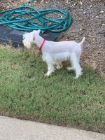 Miniature Schnauzer Puppies for sale in East Point, GA, USA. price: NA