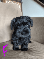 Miniature Schnauzer Puppies for sale in Marysville, OH 43040, USA. price: NA