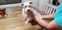 Miniature Schnauzer Puppies for sale in Okmulgee, OK 74447, USA. price: NA