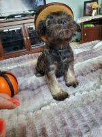 Miniature Schnauzer Puppies for sale in Jonesville, MI 49250, USA. price: NA