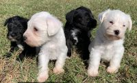 Miniature Schnauzer Puppies for sale in Howe, OK 74940, USA. price: NA