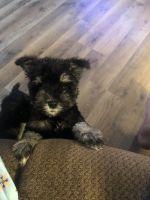 Miniature Schnauzer Puppies for sale in Ottawa, KS 66067, USA. price: NA