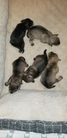 Miniature Schnauzer Puppies for sale in Union, NJ, USA. price: NA