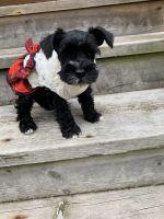 Miniature Schnauzer Puppies for sale in Wauwatosa, WI, USA. price: NA