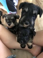 Miniature Schnauzer Puppies for sale in Crown Point, IN 46307, USA. price: NA