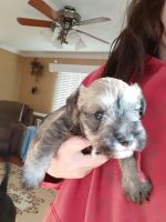Miniature Schnauzer Puppies for sale in High Point, NC, USA. price: NA