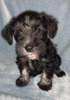 Miniature Schnauzer Puppies for sale in Bethlehem, GA, USA. price: NA