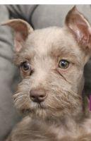 Miniature Schnauzer Puppies for sale in Hallandale Beach, FL 33009, USA. price: NA