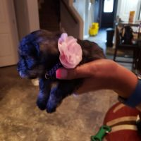 Miniature Schnauzer Puppies for sale in Converse, TX, USA. price: NA