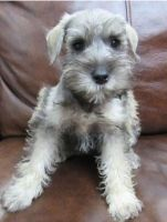 Miniature Schnauzer Puppies for sale in McKinney, TX, USA. price: NA