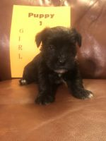 Miniature Schnauzer Puppies for sale in Hiddenite, NC 28636, USA. price: NA