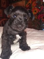 Miniature Schnauzer Puppies for sale in Bluff City, TN 37618, USA. price: NA
