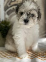Miniature Schnauzer Puppies for sale in Orlando, FL, USA. price: NA