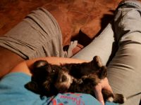 Miniature Schnauzer Puppies for sale in Rogers, TX 76569, USA. price: NA