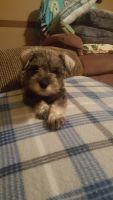 Miniature Schnauzer Puppies for sale in Hornbeak, TN 38232, USA. price: NA
