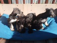 Miniature Schnauzer Puppies for sale in LaFollette, TN, USA. price: NA
